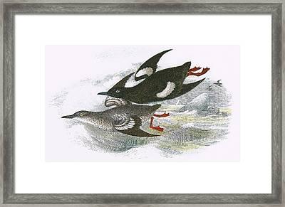 Black Guillemot Framed Print by English School