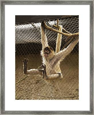 Black Handed Spider Monkey Just Sitting Around Framed Print by Thomas Woolworth