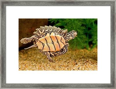 Black-knobbed Sawback Turtle, Graptemys Framed Print by David Northcott