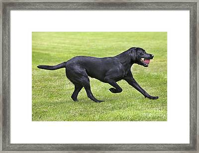 Black Labrador Playing Framed Print by Johan De Meester