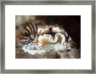 Black-margined Nudibranch Framed Print by Ethan Daniels
