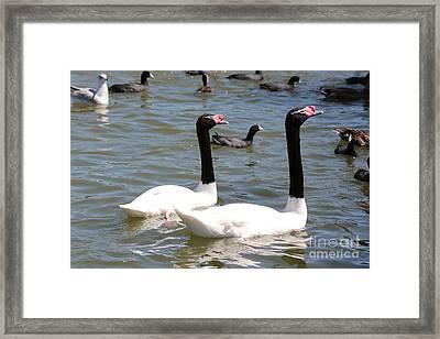 Black-necked Swans Framed Print by Carol Groenen