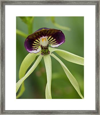 Black Orchid (prosthecea Cochleata Framed Print by William Sutton
