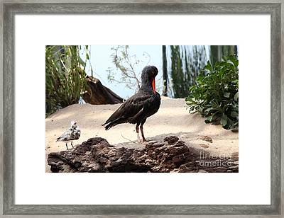 Black Oystercatcher 5d25102 Framed Print by Wingsdomain Art and Photography