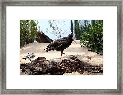 Black Oystercatcher 5d25103 Framed Print by Wingsdomain Art and Photography