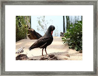 Black Oystercatcher 5d25104 Framed Print by Wingsdomain Art and Photography