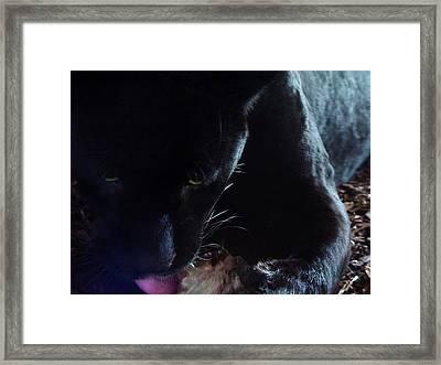 Black Panther Feeding - Closeup Framed Print by Menega Sabidussi