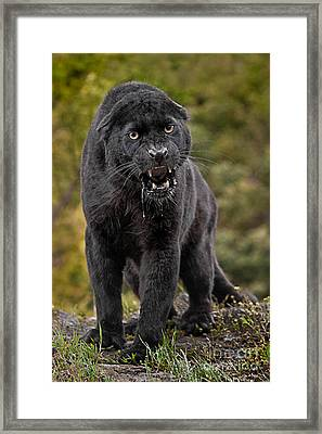 Black Panther Framed Print by Jerry Fornarotto