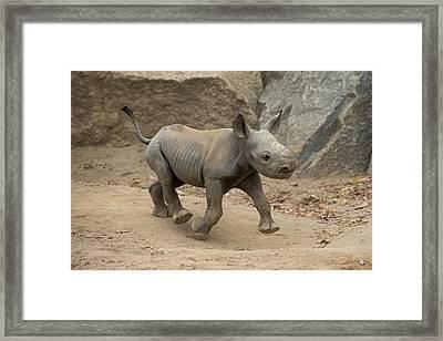 Black Rhinoceros Calf Running Framed Print by San Diego Zoo