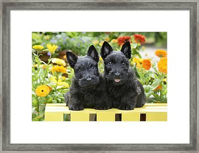 Black Scotties Framed Print by Greg Cuddiford