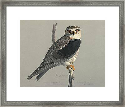 Black Shouldered Kite Framed Print by Louis Agassiz Fuertes