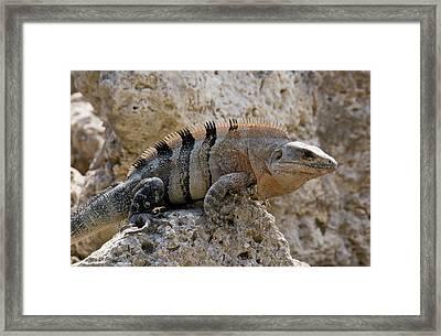 Black Spiny-tailed Iguana Framed Print by Bob Gibbons