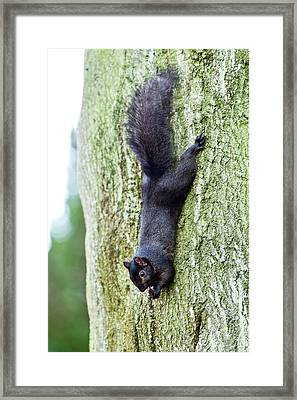 Black Squirrel Eating A Nut Framed Print by John Devries