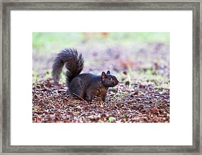 Black Squirrel On The Ground Framed Print by John Devries