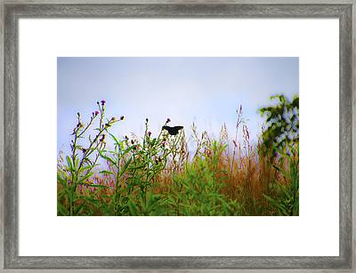 Black Swallowtail Butterfly Framed Print by Bill Cannon