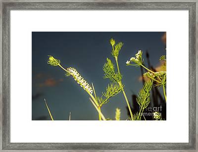 Black Swallowtail Caterpillar 2 Framed Print by Lynda Dawson-Youngclaus