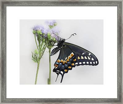 Black Swallowtail II Framed Print by David and Carol Kelly