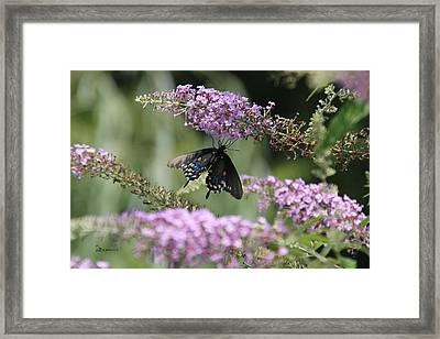 Black Swallowtail1-featured In Newbies-nature Wildlife- Digital Veil-comfortable Art Groups Groups Framed Print by EricaMaxine  Price