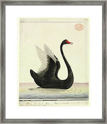 Black Swan Framed Print by Natural History Museum, London