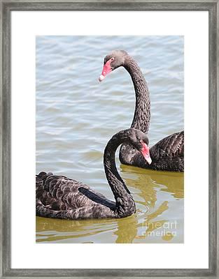 Black Swan Pair Framed Print by Carol Groenen