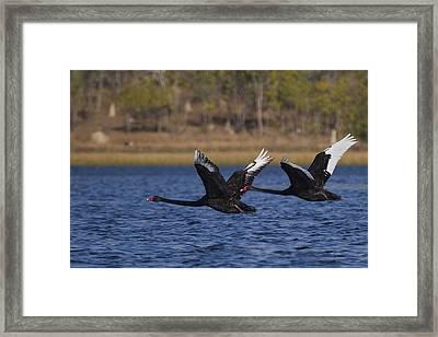 Black Swans In Flight Framed Print by Mr Bennett Kent