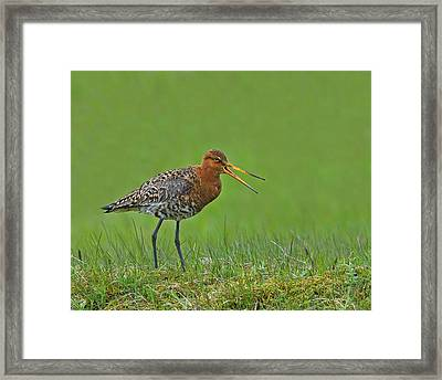 Black-tailed Godwit Framed Print by Tony Beck