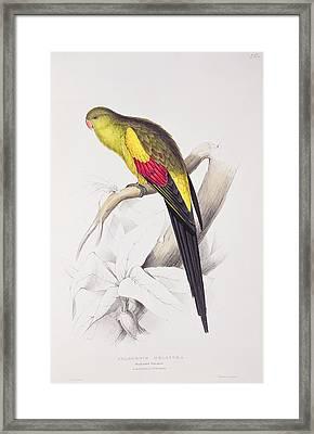 Black Tailed Parakeet Framed Print by Edward Lear
