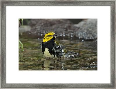 Black-throated Green Warbler Framed Print by Anthony Mercieca