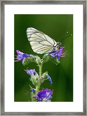 Black-veined White Butterfly On Bugloss Framed Print by Bob Gibbons