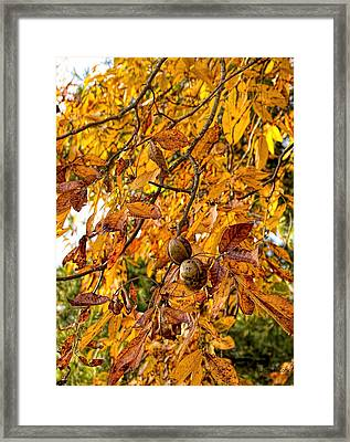 Black Walnut Harvest Time Framed Print by Bellesouth Studio