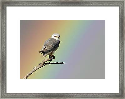 Black-winged Kite And Rainbow Framed Print by Wim Werrelman
