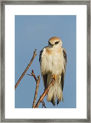 Black-winged Kite (elanus Caeruleus) Framed Print by Photostock-israel