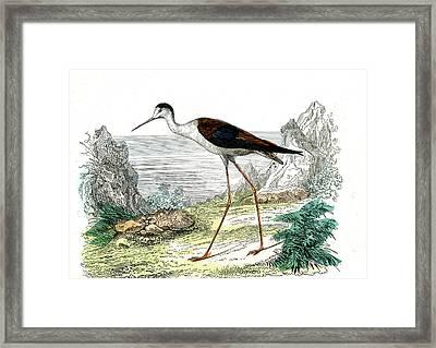 Black-winged Stilt Framed Print by Collection Abecasis