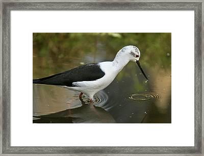 Black-winged Stilt Feeding In Water Framed Print by Bob Gibbons