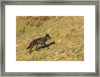 Black Wolf From Mollie's Pack In Lamar Framed Print by Tom Norring