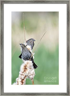 Blackbird Pair Framed Print by Mike  Dawson