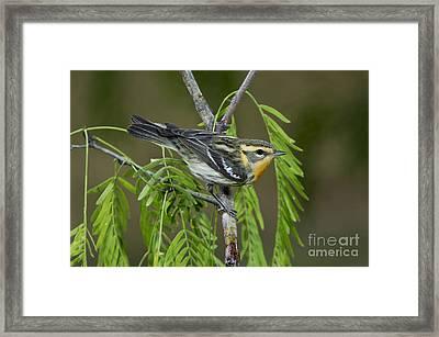 Blackburnian Warbler Framed Print by Anthony Mercieca