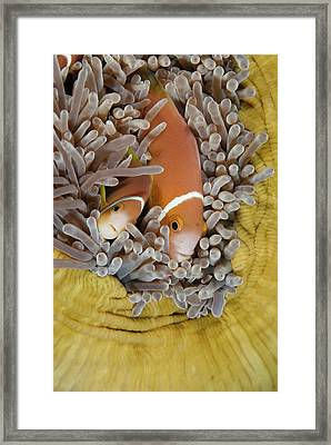 Blackfooted Anemonefish In The Maldives Framed Print by Scubazoo