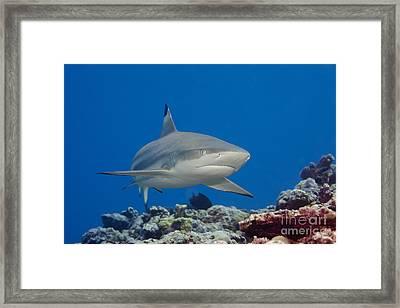 Blacktip Reef Shark _carcharhinus Melanopterus__ Yap, Micronesia Framed Print by Dave Fleetham