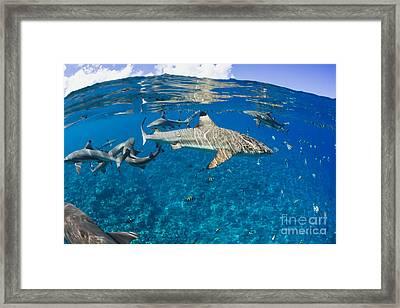 Blacktip Reef Sharks _carcharhinus Melanopterus_ Yap, Micronesia Framed Print by Dave Fleetham