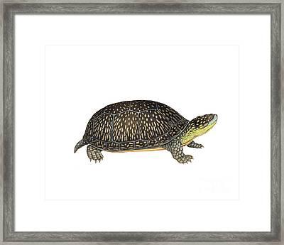 Blandings Turtle Framed Print by Carlyn Iverson