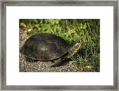 Blanding's Turtle Framed Print by Thomas Young