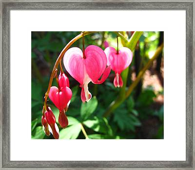 Bleeding Heart Framed Print by Brittany H