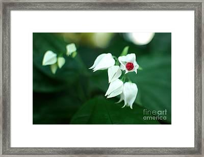 Bleeding Heart Vine Blossom Framed Print by Floyd Menezes
