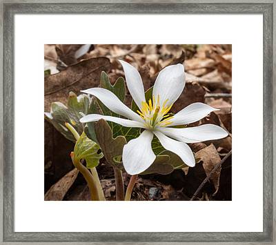Blood Root 1 Framed Print by Douglas Barnett