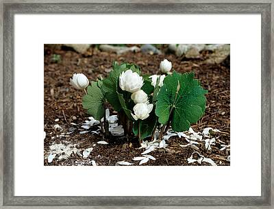 Blood Root Sanguinaria Canadensis Framed Print by Andrew J. Martinez