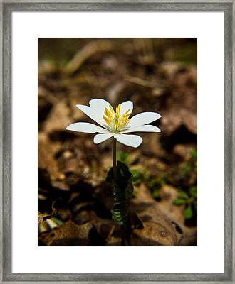 Bloodroot Flower 1 Framed Print by Douglas Barnett
