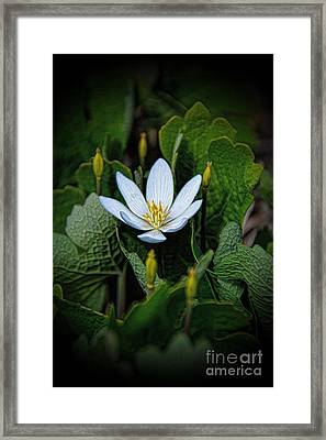 Bloodroot Pretty Poison Framed Print by Henry Kowalski