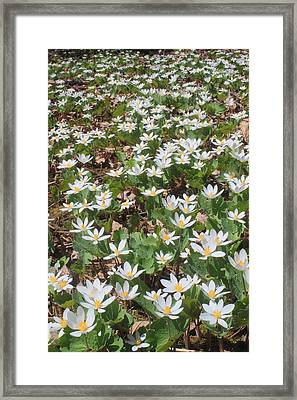 Bloodroot Wildflower Colony Framed Print by John Burk