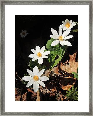 Bloodroot Wildflowers In Shadow Framed Print by John Burk